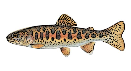 Redband Trout Identification