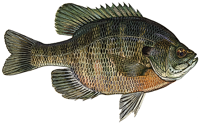 Bluegill Identification