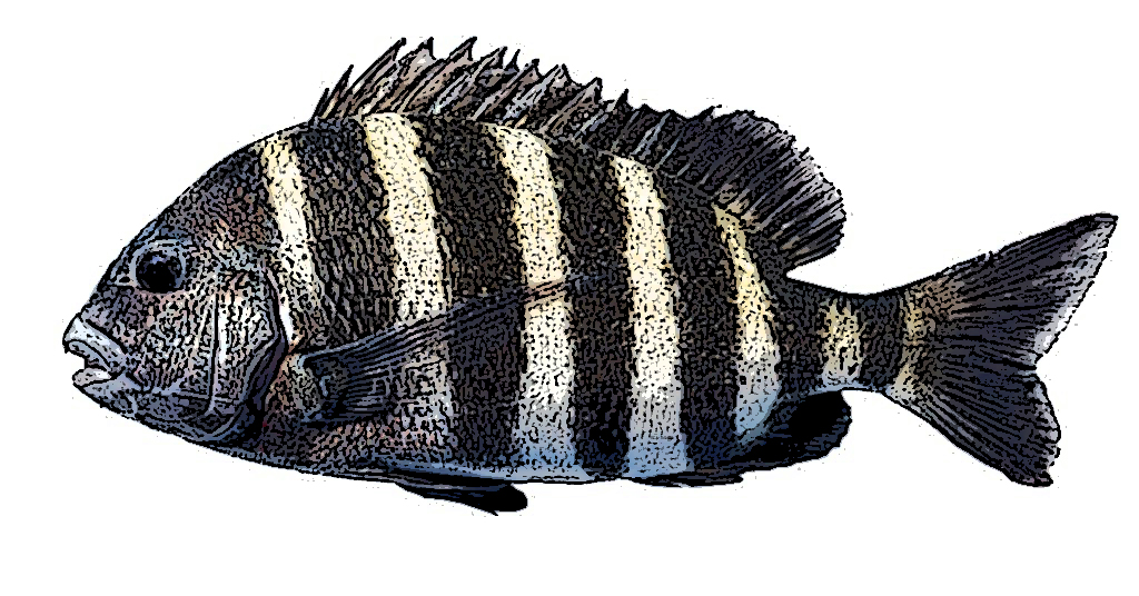 Sheepshead Identification