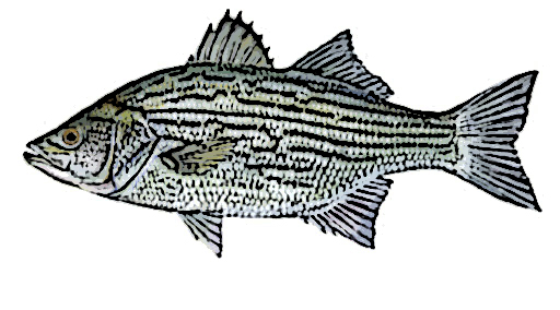 White Bass Identification