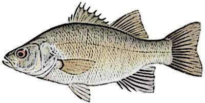 White Perch Identification