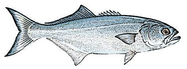 Bluefish Identification