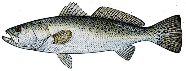 Speckled Trout Identification