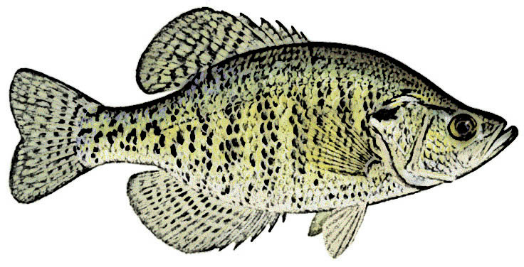 White Crappie Identification