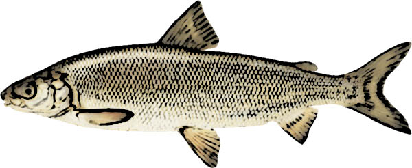 Lake Whitefish Identification
